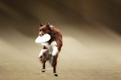Frisbee contagieux de chien de border collie images libres de droits