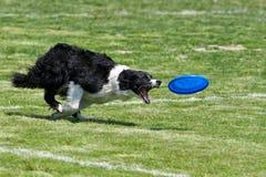 Frisbee de chien Image stock