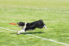 Frisbee de chien Photos libres de droits