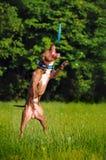 Frisbee de travamento de Pitbull Fotografia de Stock Royalty Free