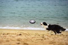 Frisbee de travamento do cão Fotos de Stock