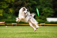 Frisbee di cattura del cane di border collie nel salto Immagini Stock Libere da Diritti