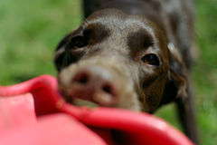 Frisbee DogΣτοκ εικόνα με δικαίωμα ελεύθερης χρήσης