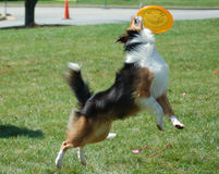 Frisbee Dog. A sheltie dog catching a frisbee midair stock images