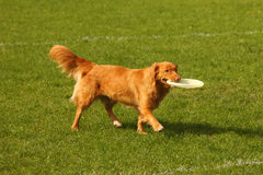 Frisbee dog Royalty Free Stock Photography
