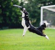 Frisbee dog catching Stock Images