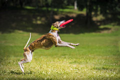 Frisbee dog catching disc Stock Image