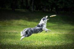 Frisbee dog catching fliyng disc Stock Photos