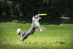 Frisbee dog catching fliyng disc Stock Photo