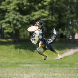 Frisbee dog Royalty Free Stock Photography