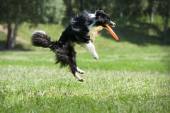 Frisbee dog with flying disk in summer Royalty Free Stock Image
