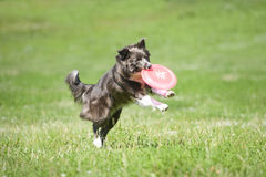 Frisbee dog with flying disk in summer Stock Photos