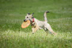 Frisbee dog with flying disk in summer Stock Image
