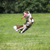 Frisbee dog with flying disk in summer Stock Images