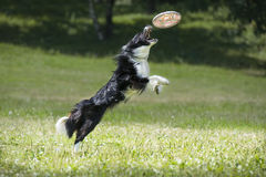 Frisbee dog with flying disk in summer Royalty Free Stock Photos