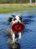 Frisbee Fetch Royalty Free Stock Photos