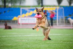 Frisbee German shepherd catching Stock Photography