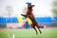 Frisbee Irish setter catching Royalty Free Stock Image