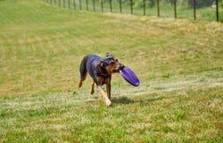 Frisbee levando do cão no campo fotografia de stock