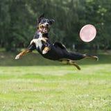Frisbee pies z latającym dyskiem w lecie Zdjęcia Royalty Free
