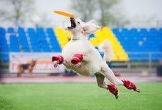Frisbee poodledog catching Stock Image