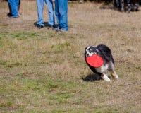 frisbee psi bieg Zdjęcia Stock