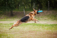 Frisbee sheepdog catching disc. Dog catching the flying disc in jump Royalty Free Stock Images