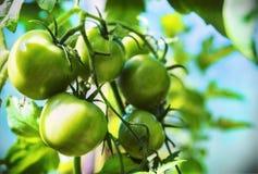 Frisch angebaute reife Tomaten auf den Niederlassungen im Gewächshaus Lizenzfreies Stockfoto