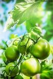 Frisch angebaute Tomaten auf den Niederlassungen im Gewächshaus Stockfotos