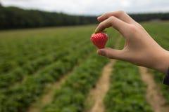 Frisch ausgewählte Erdbeere am Feld Lizenzfreies Stockfoto