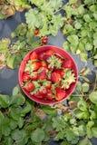 Frisch ausgewählte Erdbeeren Lizenzfreie Stockfotos