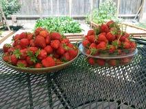 Frisch-ausgewählte Erdbeeren Stockbilder