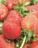 Frisch ausgewählte Erdbeeren Lizenzfreie Stockfotografie