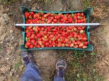 Frisch ausgewählte Erdbeeren mit Frucht-Pflücker Stockfotografie