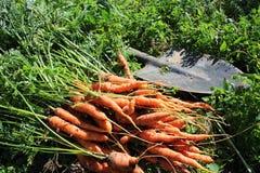 Frisch ausgewählte Karotten Stockfotografie