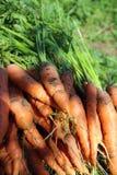Frisch ausgewählte Karotten Lizenzfreies Stockbild