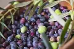 Frisch ausgewählte Oliven Lizenzfreie Stockbilder