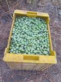 Frisch ausgewählte Oliven Stockfotos