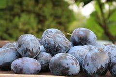Frisch ausgewählte organische reife köstliche blaue Pflaumen auf dem alten hölzernen Hintergrund, selektiver Fokus Unscharfer Hin Stockfotografie
