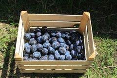 Frisch ausgewählte organische reife köstliche blaue Pflaumen Unscharfer Hintergrund Lizenzfreies Stockfoto