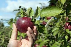Frisch ausgewählter Apfel stockfotografie