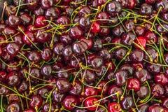 Frisch ausgewähltes Kirsche-` s vom Baum Lizenzfreies Stockbild