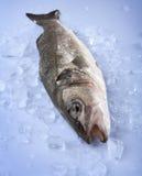 Frisch Bass-Fische Lizenzfreie Stockfotografie