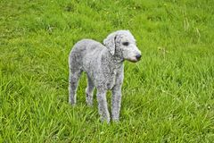 Frisch befestigter Bedlington-Terrier Stockbilder