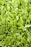 Frisch ein grüner Kopfsalat stockbild