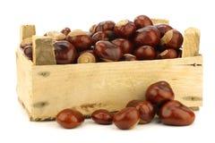 Frisch gefallene Kastanien (Aesculus hippocastanum) Lizenzfreies Stockfoto