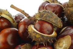 Frisch gefallene Kastanien (Aesculus hippocastanum Lizenzfreies Stockfoto