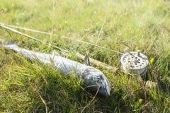 Frisch gefangene atlantische Lachse Stockfotos