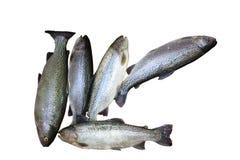 Frisch gefangene Forellen, die ein liegen Lizenzfreies Stockbild