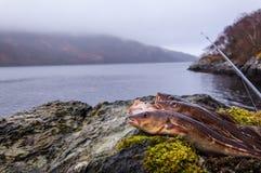 Frisch gefangene Kabeljaus auf einem Felsen mit Angelrute stockfotografie